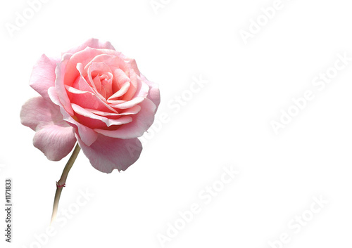 rose freigestellt in rosa