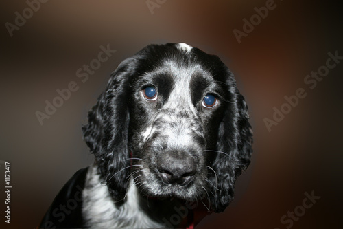 inquisitive cocker spaniel