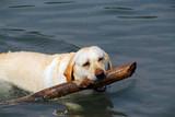 dog swim stick poster