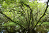 Tree in swamp in Everglades poster