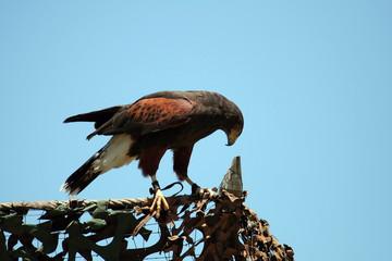 harris's hawk on a fence