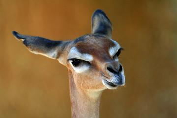 gerenuk looking straight