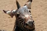 funny zebra head poster