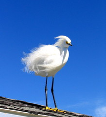 bad hair day snowy egret