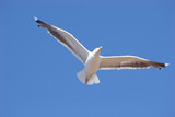 sea-gull in the blue