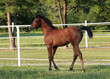 bay arabian filly
