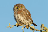pearl-spotted owl poster
