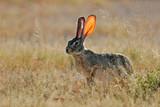 scrub hare poster