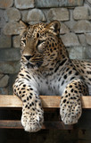 persian leopard poster