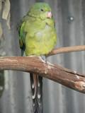 golden shoulder parrot poster