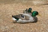 ducks lying down poster