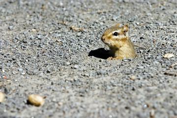 chipmunk with eye on food.