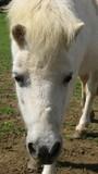 pony.horse.head of pony/horse poster