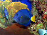 a coral fish in the red sea poster