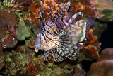 lion fish in the red sea, israel poster