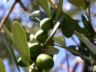olivenzweig