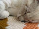 chaton dormant