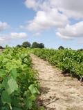 rangée de vigne poster