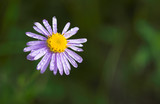 alpine aster with water drops poster