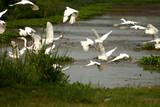 flock of egrets poster