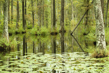 cypress swamp bog and lilly pads