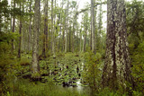 cypress trees in foggy, swamp poster