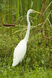 snowy egret in marsh poster