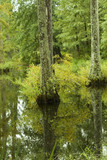 swamp and cypress trees poster