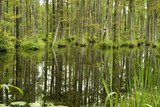 cypress trees in swamp poster