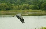 blue heron in flight over marsh poster