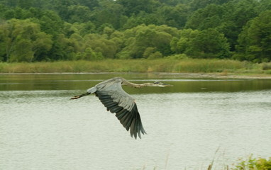 blue heron in flight over marsh