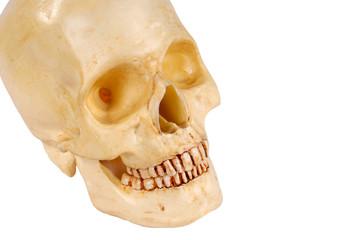 human skull from right
