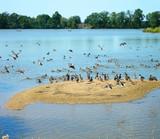 birds - wild ducks flock, lake, reservoir poster
