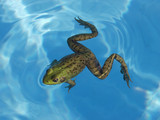 green frog in a pool poster