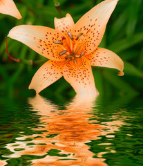 lily in a garden