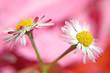 Leinwandbild Motiv gänseblümchen auf pink
