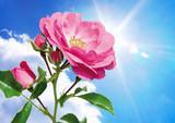 heavens rose poster