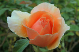 coral-colored rose poster