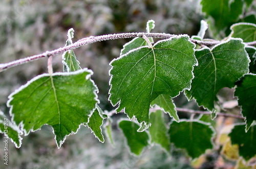leaves in hoarfrost