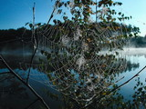 leaves in a web