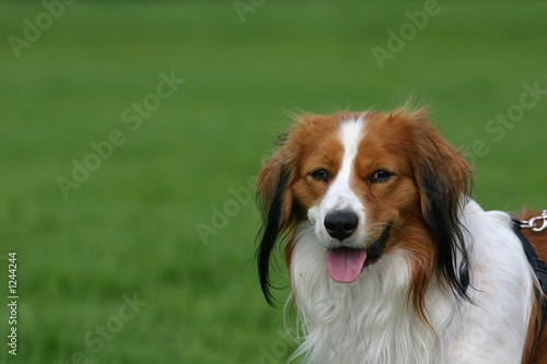 dutch kooiker dog