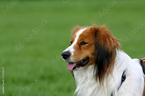 dog in a green field