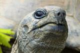cocky giant tortois poster