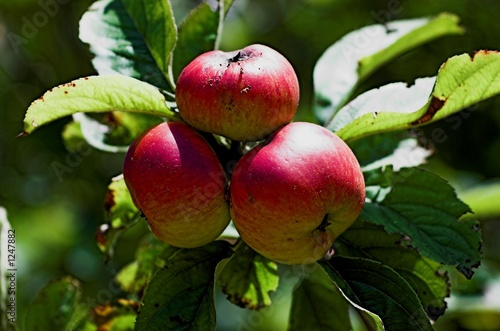 three red apples in the apple tree