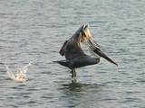 elevating pelican poster