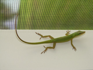 green lizard relaxing