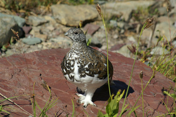 white-tailed ptarmigan 96