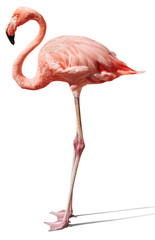 flamingo on white