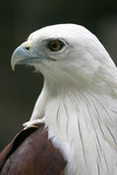 white bellied sea eagle profile portrait poster