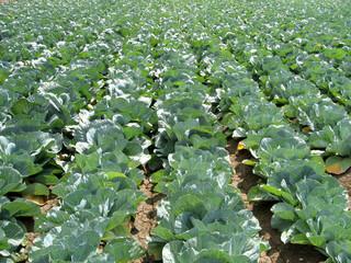 cabbage 7